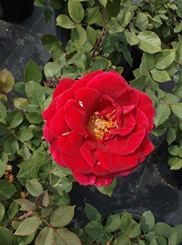 Mr. Lincoln Red 2 Gal Big Live Bush Plant Floribunda Plants Fine Roses Landscape by tans_treasures (Image #1)