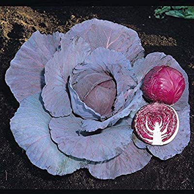 Red Jewel F1 Hybrid Cabbage Seeds (25 Seeds) : Garden & Outdoor