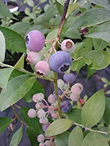 REKA BLUEBERRY BUSH, good for very cold places-in 1 gallon pot(grows well in north), in 1 gallon pot,good for colder places, developed in New Zealand vigorous and fast growing, grows well in Northern climates (Hydrangeas Shrub, Evergreens, Gardenia
