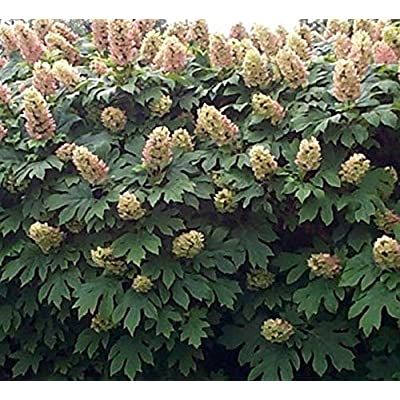 Cheap Fresh Hydrangea Quercifolia Oakleaf Hydrangea Seeds Get 10 Seeds Easy Grow #GRG01YN : Garden & Outdoor
