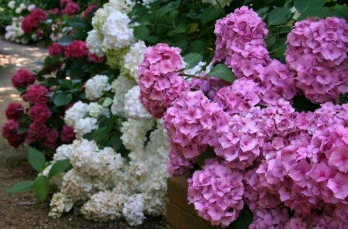 Mixed Hydrangea Seeds - My Secret Gardens