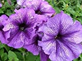 200+ Sugar Daddy Blue Petunia Seeds - DH Seeds - UPC0742137106346 - Plant Marker Included