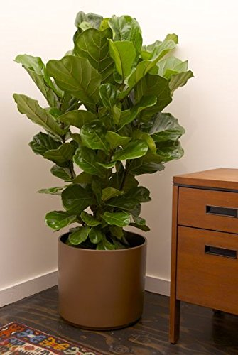 Fiddle Leaf Fig Bush (Ficus lyrata), 3 to 4' Tall by Garden Goods Direct