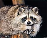 Cute Raccoon Close-up Wildlife Animal Wall Decor Art Print Posters (16x20)