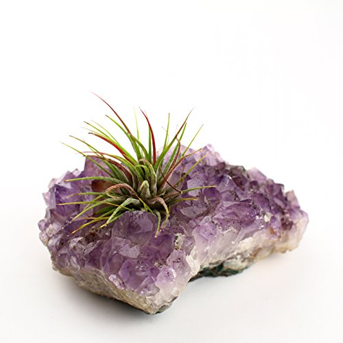 Amethyst Votive Air Plant DIY Kit - Purple Crystal Candle Holder for Tea Lights or Air Plants (Votive + 3 Air Plants)