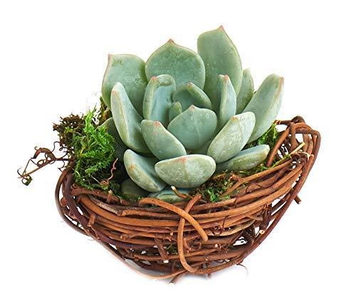 (Shop Succulents Spring Mini Bird Nest Succulent Planter - Spring Home Decor - Succulent Office or Classroom Décor - 3