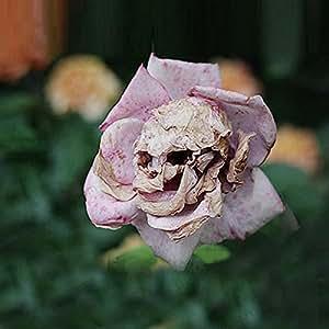 La muerte Rose semillas raras y misteriosas especies de plantas de flor boca de dragón vainas de semillas cráneo 50 partículas / bolsa