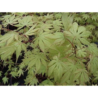 Grandma Ghost Japanese Maple 3 - Year Live Plant : Garden & Outdoor