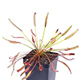 9GreenBox - Cape Sundew Plant - 3'' Pot