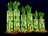 60 Stalks of Straight Lucky Bamboo (4' X20+6'x20+8'x20 Pieces) Mixed for Gifts and Fengshui