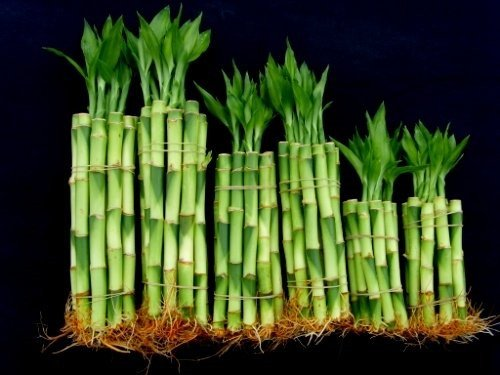 60 Stalks of Straight Lucky Bamboo (4'' X20+6''x20+8''x20 Pieces) Mixed for Gifts and Fengshui by Betterdecor
