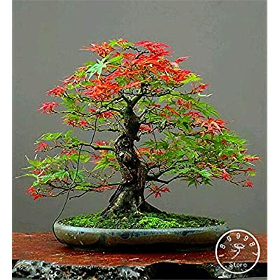50 Canada Mini Red Maple Bonsai Garden DIY Bonsai Maple Tree Plant #wc9ton