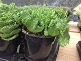 Succulent plant, Euphorbia Flanaganii, Cristata. Beautiful fan shaped emerald green stems that resemble green coral.