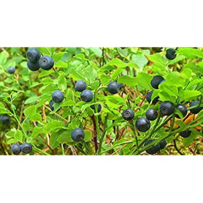 40 Vaccinium Myrtillus Bilberry European Blueberry Fruit Shrub Seeds #RR01 : Garden & Outdoor