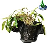 Cryptocoryne Green Driftwood For Aquarium Plants Freshwater Fish tank Decorations Easy Put in Your Tank by Greenpro