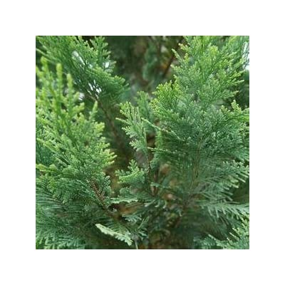 Chamaecyparis-Pinpoint-Blue-and-Gold - QT Pot (Shrub) : Garden & Outdoor
