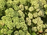 SD1500-0064 White Sedum Spectabile Boreau Seeds, Fresh Flower Seeds, Non-Genetically Modified Seeds (20 Seeds)