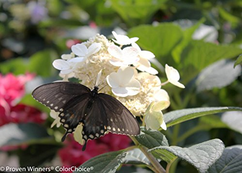 Little Quick Fire Hardy Hydrangea (Paniculata) Live Shrub, White to Pink Flowers, 1 Gallon by Proven Winners (Image #6)