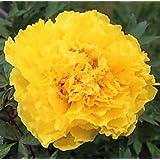 Wotefusi 5pcs Golden Peony Flower Seeds Home Plant DIY Garden