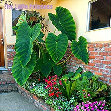 Loss Promotion! 20 Seeds / Pack Heirloom Alocasia Macrorrhiza seeds Green Giant Taro Flower Garden Plant Professional Pack Elephant ears Sale - Arcis New