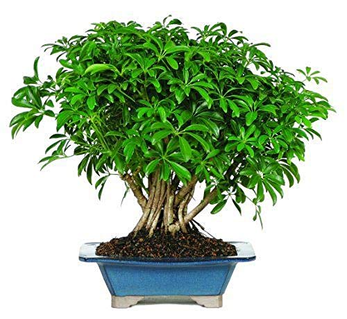 Hawaiian Umbrella Tree Bonsai Dwarf Live Plant Tropical 8 Years Indoor Best Gift Plant A6 by owzoneplant (Image #3)