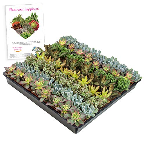 "Altman Plants Mini Live Assorted Succulents Weddings, Party favors, DIY terrariums, Gifts 2"" 64 Pack"
