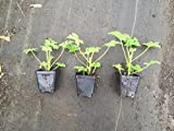 3 Citronella Plants in 4 Inch Pots (3 Pots with One Plant Each Pot). Mosquito Plant/Deodorant Plant/ Citrosa Geranium. Great Mosquito Repellent!