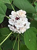 (2) FRAGRANT 1 foot ROOT STOCK (NO LEAVES) clerodendrum philippinum TWO PLANTS