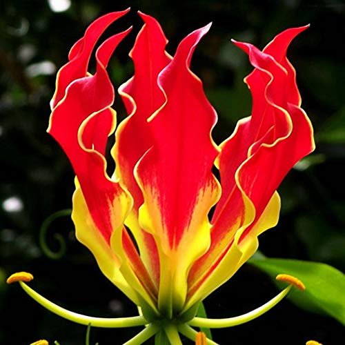 MelysUS 10pcs Gloriosa Flame Lily Seed Balcony Bonsai Home Garden Lily Flower Seeds Flowers