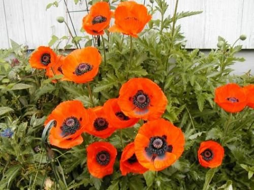 Poppy, Oriental, Scarlet Orange Flower Poppies, 1000 Seeds - Scarlet Flower The