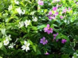 "CUPHEA - MEXICAN HEATHER - WHITE / LAVENDER COMBO - 2 PLANTS - 3"" POTS"