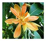 Magnolia champaca - Champaca - champak - Joy Perfume Tree - 10 seeds