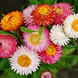 Strawflower Seeds - Swiss Giant Mix - Packet, Papery/Mixed Color Flowers