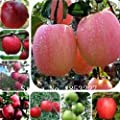 30 Cashew Nut Apple seeds Plant Anacardium Occidentale Tree Planting Seeds Fresh New fruit seeds