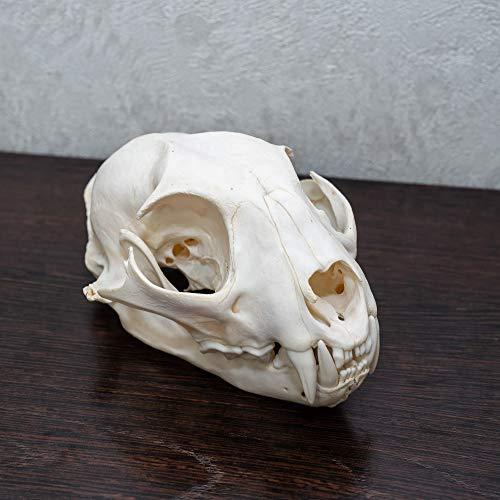 Eurasian Lynx Taxidermy Skull - NOT Bobcat Cleaned Skull, Jaws, Bones, Skeleton, Teeth for Sale - Real, Decor, LIFESIZE, Genuine - ST4919