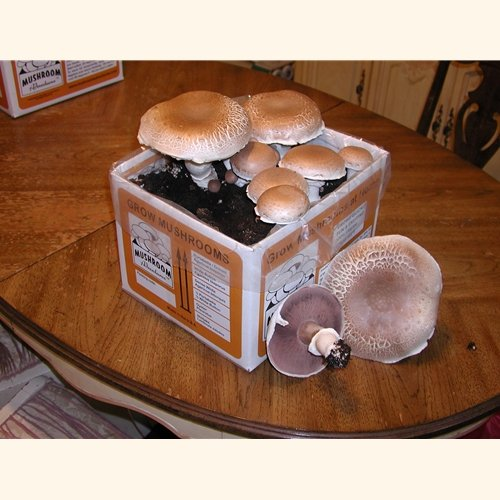 Seasonal Giant Heirloom Portabella Mushroom Growing Kit