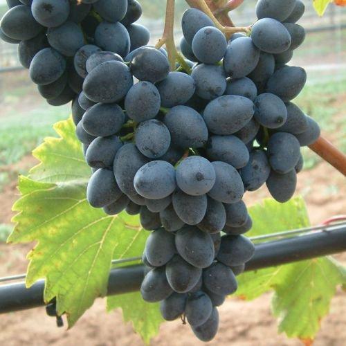 Tafeltraube 'Georg®' blau - Traubenrebe für den Garten - 1 Traubenpflanze von Pflanzen-Kölle im 3 Liter Topf - Vitis vinifera Georg