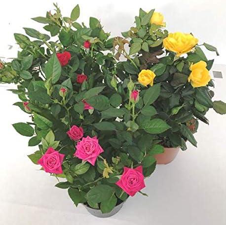 Pack 3 Rosal Mini Plantas con Flores de Colores Variados en Maceta Pequeña Rosales Decorativos: Amazon.es: Jardín