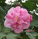 Double Pink Confederate Rose - Hibiscus mutabulis - 40 fresh seeds! cotton tree