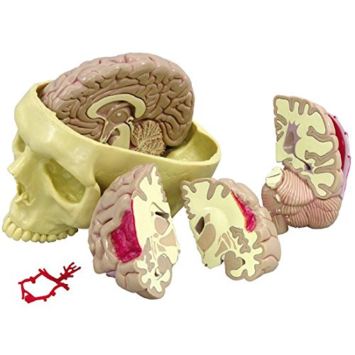 Brain Model Full Size Segmented 4 Parts by GPI Anatomicals (Image #3)