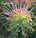 ChinaMarket 10 Pcs Rare Colorful Grevillea Flower Australian Bonsai Grevillea Flower Seeds Plant