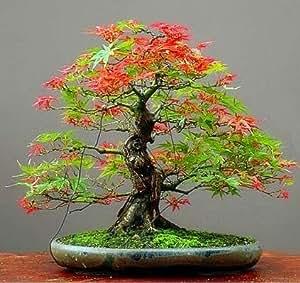 Semillas Mpale árbol 30 PC / paquete semillas de arce Bonsai azul del árbol de arce japonés arce plantas Semillas Balcón para el jardín de 13