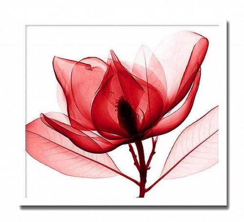 「Red Magnolia」【X-ray Photograph】Steven N.Meyers【絵のある暮らし】 B00ZWG9ZNU