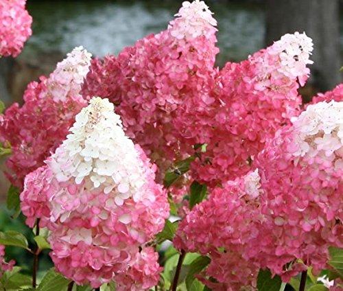 Vanilla Strawberry Pink Panicle Hydrangea - Live Plant - Full Gallon Pot (Pinky Winky)