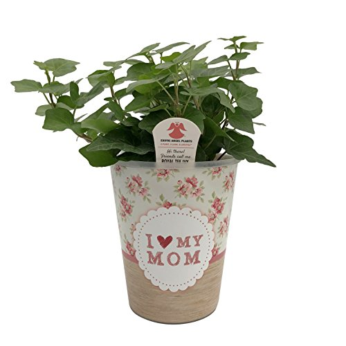 Ivy Pot Planter - Costa Farms WaterWick Self-Watering