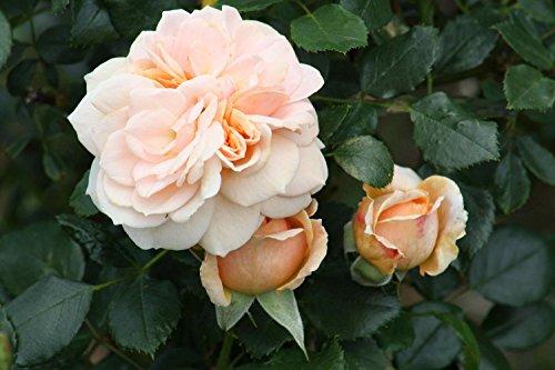 Cream Veranda Rose - Disease Resistant - 4