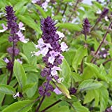 Cinnamon Basil Seeds - Emerald green leaves with beautiful purple stems !!!!(10 - Seeds)