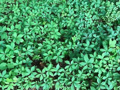 15 Virginia Creeper Live Starter Plants Trailing Vine Ground Cover Bare Root NHKM75