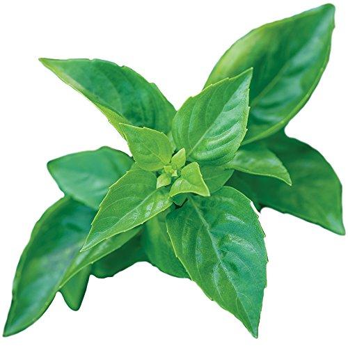(Burpee 55370A Pesto Party Basil Seeds, Green)