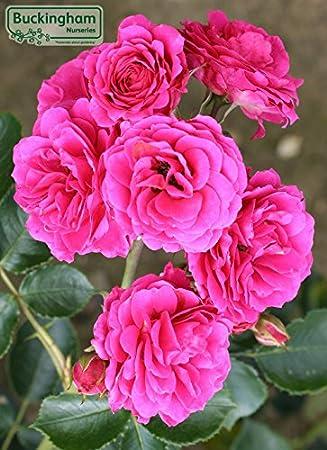Rose flower carpet pink amazon garden outdoors rose flower carpet pink mightylinksfo
